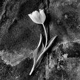 Tulip, Anne Larsen