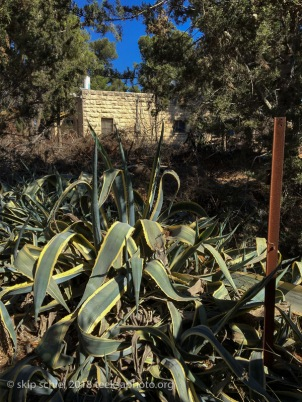 Agave—cactus usually indicates a former Palestinian village